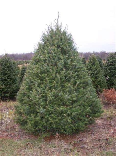 balsam fir mr christmastree com