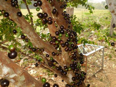 Bibit Markisa Medan tanaman buah firdaus garden