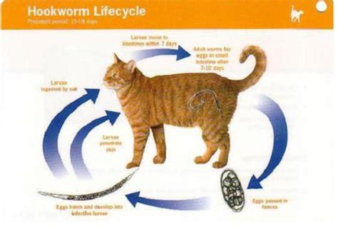 roundworms in cat vomit www imgkid com the image kid has it