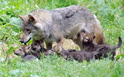 wolf shot dead  escape  zoo climbed