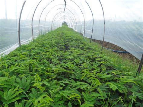 Jual Bibit Kaliandra Di Bogor jual biji benih tanaman kaliandra merah murah untuk