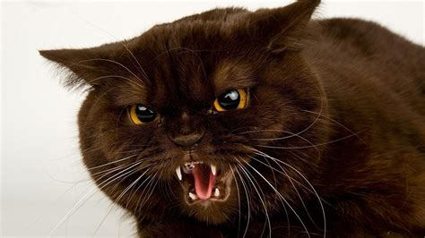 wallpaper angry cat angry cat hd desktop wallpaper widescreen high