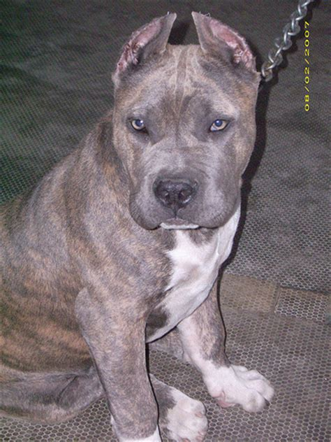 blue brindle pitbull puppies a blue brindle pit bull flickr photo