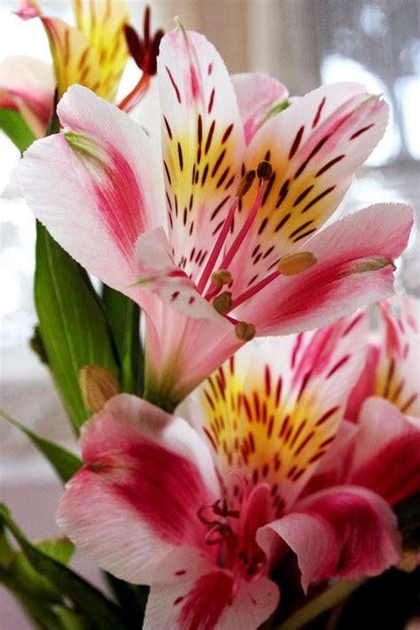 imagenes flores astromelias alstroemeria favorito debido a su coloraci 243 n y patrones