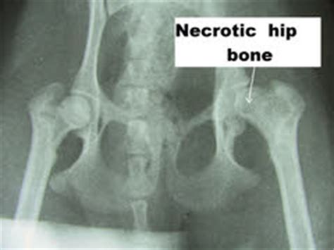 hip problems in yorkies quot quot yorkie with legg calve perthes disease