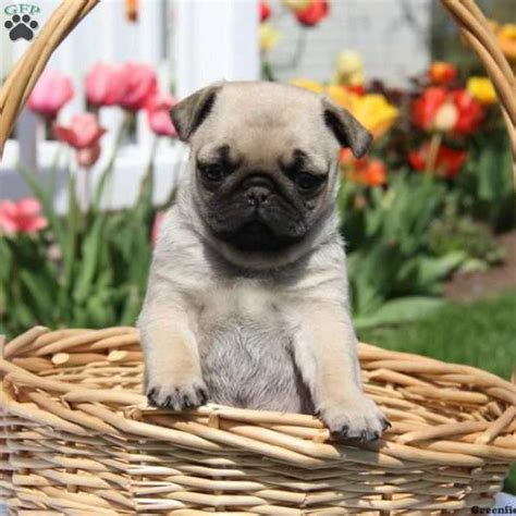 pug puppies for sale in delaware miniature pug puppies for sale greenfield puppies