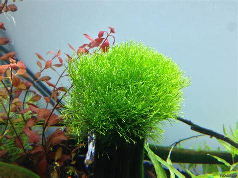 Aquascaping Forum Riccia Fluitans Crystalwort Flowgrow Aquatic Plant