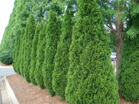 medium sized privacy trees to block nosey neighbors fast