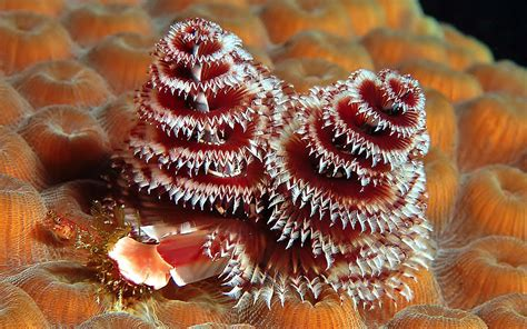 1 christmas tree worm hd wallpapers backgrounds