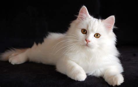 So Untuk Kucing Anggora 20 lovely and friendly cats images