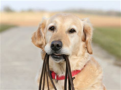 best leash for golden retriever puppy leash laws archives office of heidi meinzer pllc