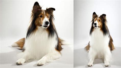 animal planet breed selector shetland sheepdog breed selector animal planet