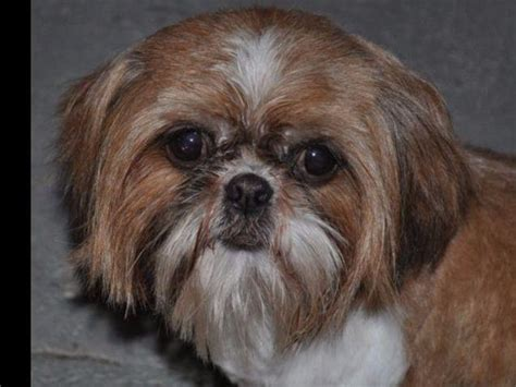 miniature shih tzu puppies for sale in kent shih tzu puppies for sale akc marketplace