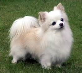 Long hair chihuahua puppies long haired chihuahua puppies for sale