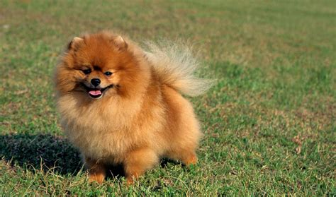 what is the lifespan of a pomeranian pomeranian breed information