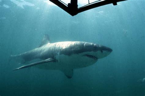great white shark jumps in boat great white shark jumps onto australian fisherman s boat