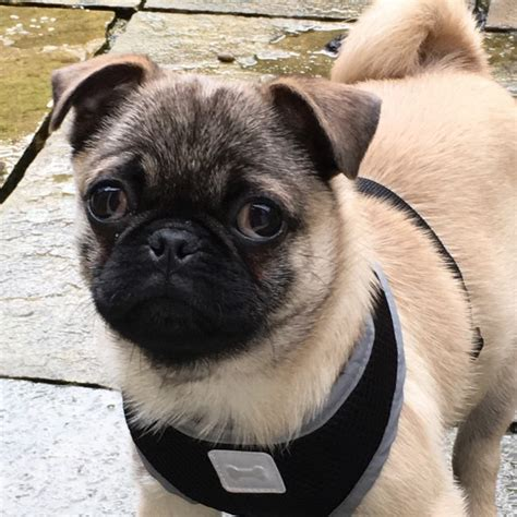 5 month pug pug 5 month fawn rossendale lancashire pets4homes
