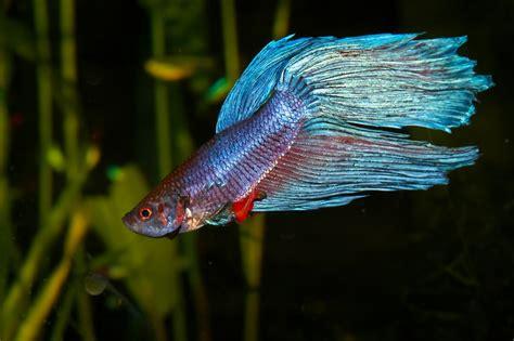 care  goldfish