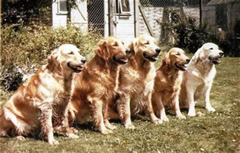 camrose golden retrievers camrose golden retrievers picture gallery