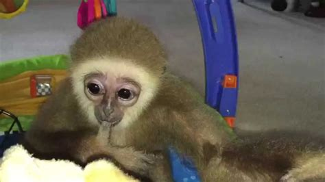 baby gibbon monkey baby gibbon learns to walk