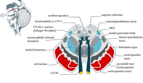 midbrain cross section file midbraincrosssection png