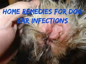 How To Treat A Dogs Ear Infection At Home by Dog Ear Infections Youtube