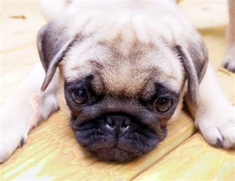 pug puppies for sale in sc pug sale greenville hoobly us