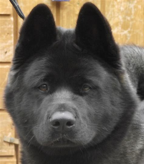 black akita puppies my american akita puppy at 7 months dogs i