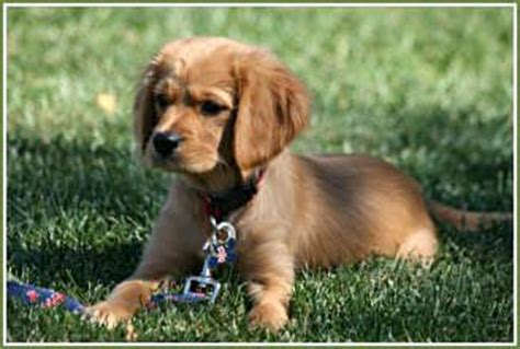 golden retriever king charles spaniel mix a golden retriever half king charles cavalier spaniel half golden retriever