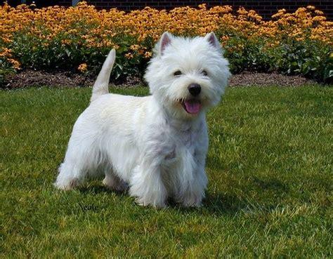 havanese puppies scotland west highland white terrier the west highland white terrier originated in scotland