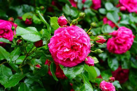 Tanaman Hias Bunga Mawar Floribunda Pink gambar menanam daun bunga berwarna merah muda