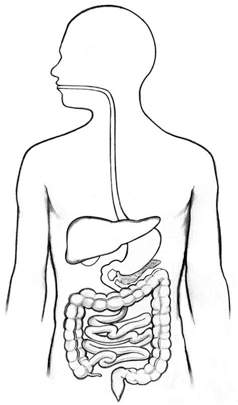 Human Anatomy Outline