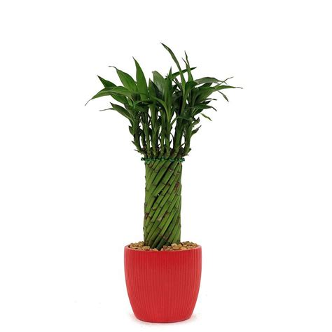 in door plants pot three four plants argements video delray plants lucky bamboo cylinder braid in 4 in ribbed