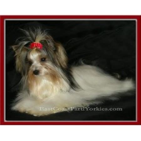 yorkie breeders in md east coast parti yorkies terrier breeder in millington maryland