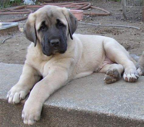 kangal puppy kangal info varieties care pictures
