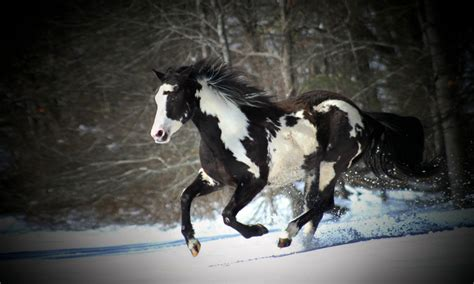 black  white horse running  snow desktop wallpaper