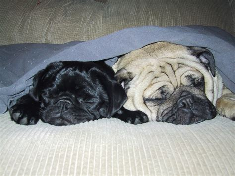 photo of pugs pug pugs photo 239495 fanpop