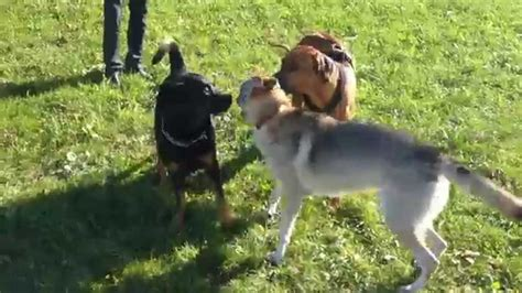 wolf vs rottweiler rottweiler and rhodesian ridgeback vs wolf hybrid