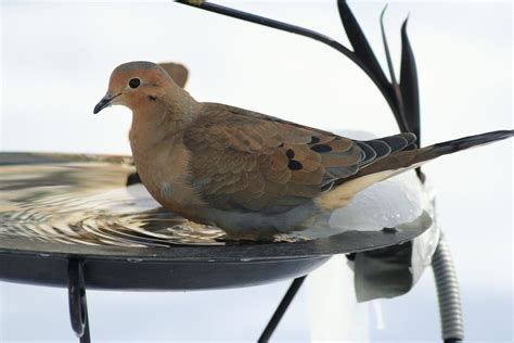 free mourning dove stock photo freeimages com