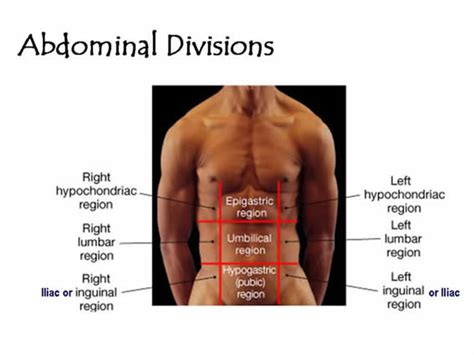 sections of the abdomen abdominal divisions