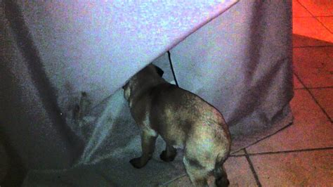 pde pug my pug showing pde symptoms 2
