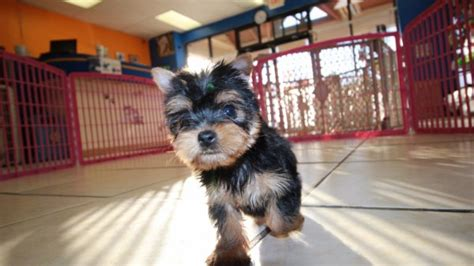 yorkie puppies for sale in columbus ga yorkie breeders ga breeds picture