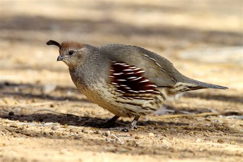 quail food what do quail eat best food for quail