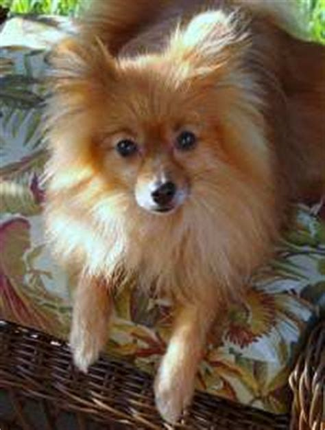 how does it take for pomeranian hair to grow cut hair cuts pomeranian information center