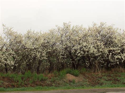 plum american thetreefarm com