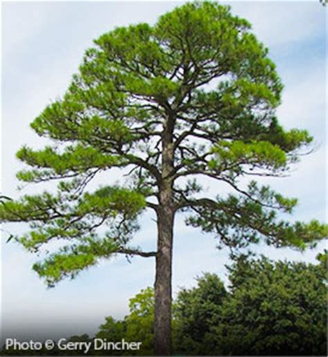 top 10 pictures of trees for day buy affordable loblolly pine trees at our nursery