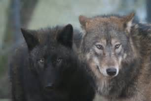 Wolf shepherd mix the dna of wolves and dogs is