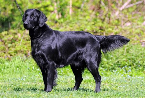 golden retriever smelly coat best 25 flat coated retriever ideas on black labs fluffy puppies and
