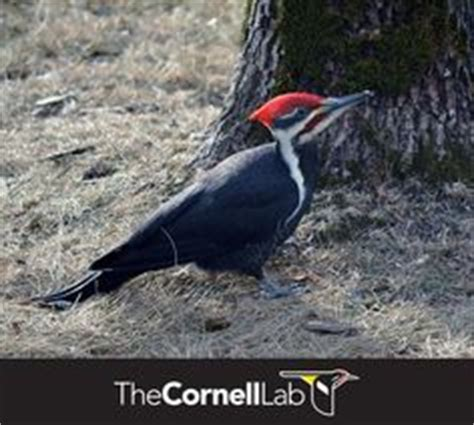 1000 images about all about pileated woodpeckers on
