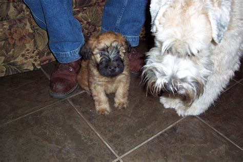 soft coated wheaten terrier puppies non shedding